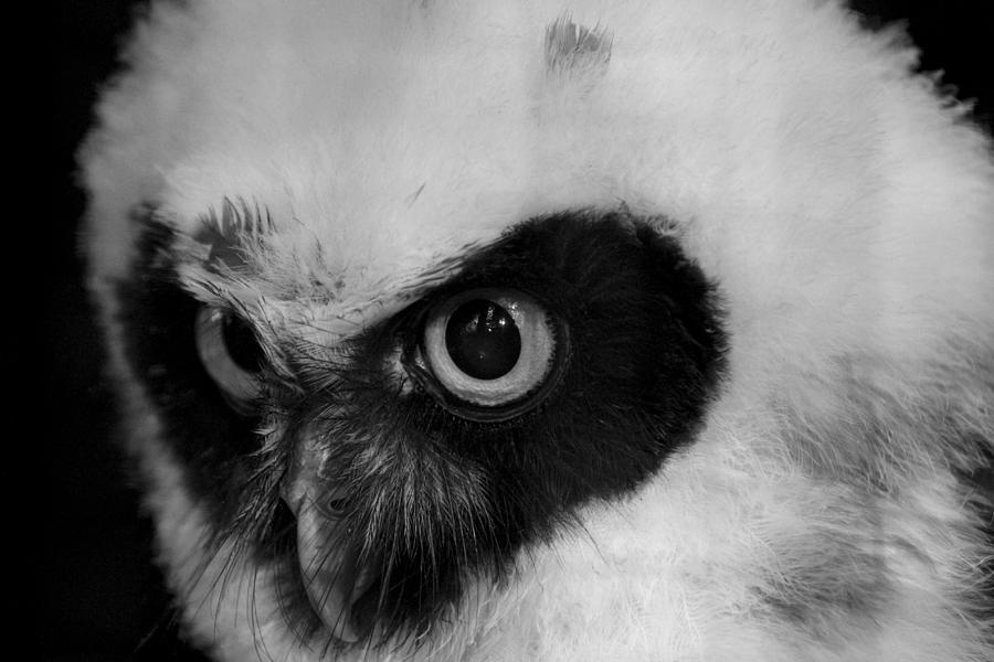 Owl Photograph - Spectacled Owl by Simon Gregory
