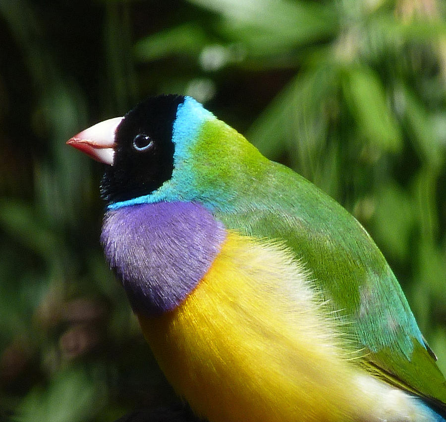 Gouldian Photograph - Spectacular Gouldian Finch by Margaret Saheed