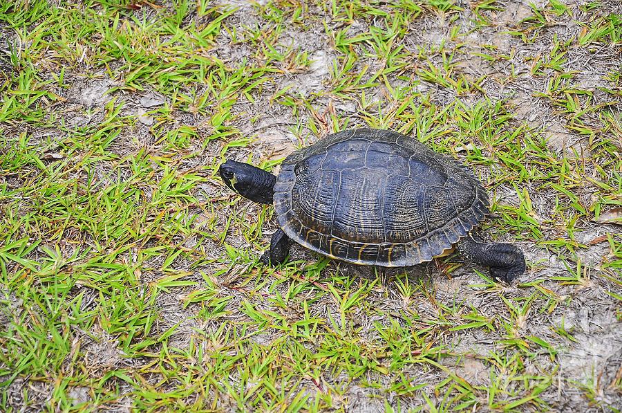 Turtle Photograph - Speedy Slider by Al Powell Photography USA