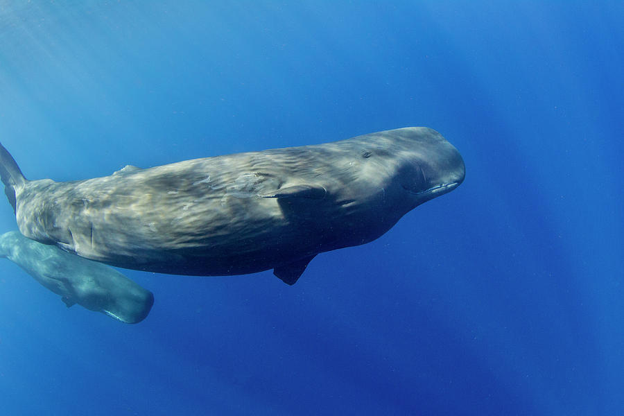 Sperm Whale Pyseter Macrocephalus Photograph by Stephen Frink