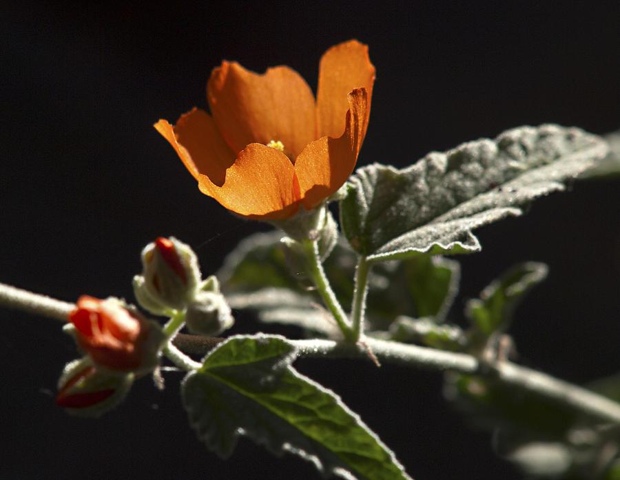 Apricot Mallow Photograph - Sphaeralcea Ambigua by Joe Schofield
