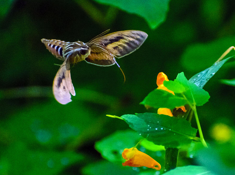 Sphinx Moth And Wildflower Photograph