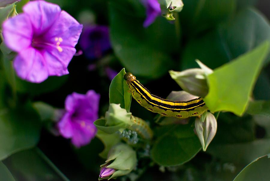 Purple Photograph - Sphinx Moth Caterpillar by Swift Family