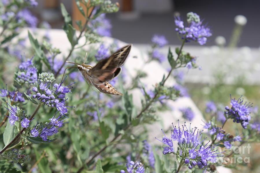 Hawk Moth Photograph - Sphinx Moth by Stephanie Woerndle
