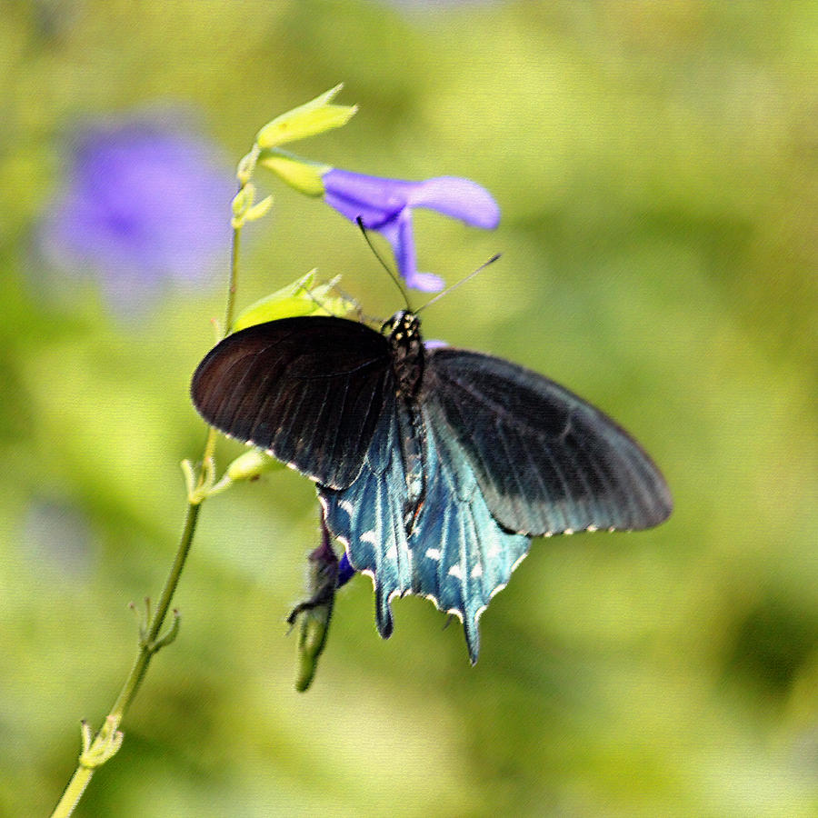 Blue Photograph - Spicebush Swallowtail Butterfly In Pastel by Suzanne Gaff