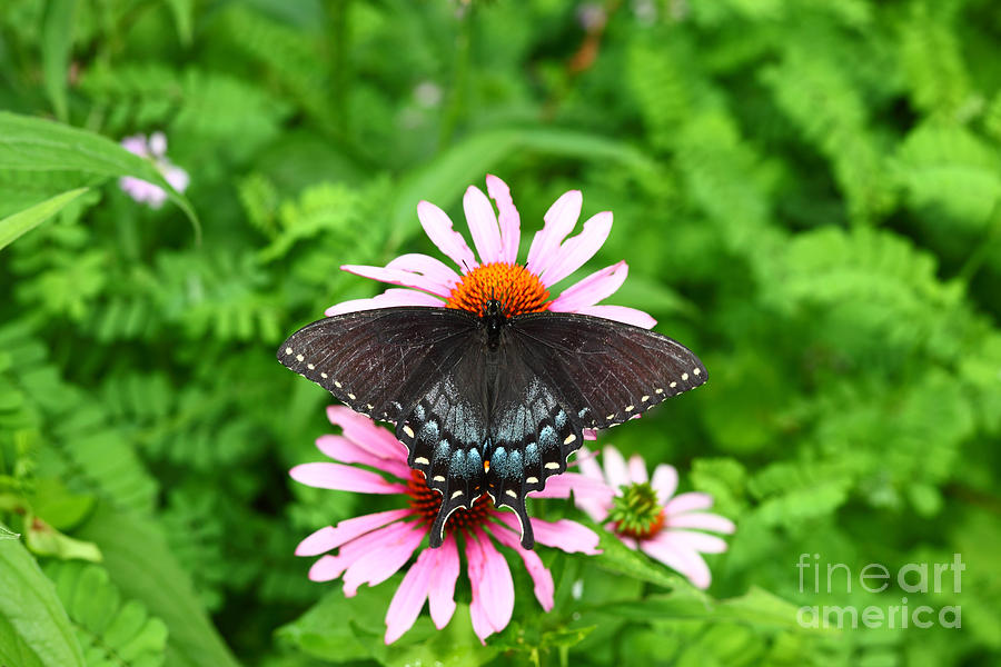 Swallowtail Photograph - Spicebush Swallowtail Butterfly by James Brunker