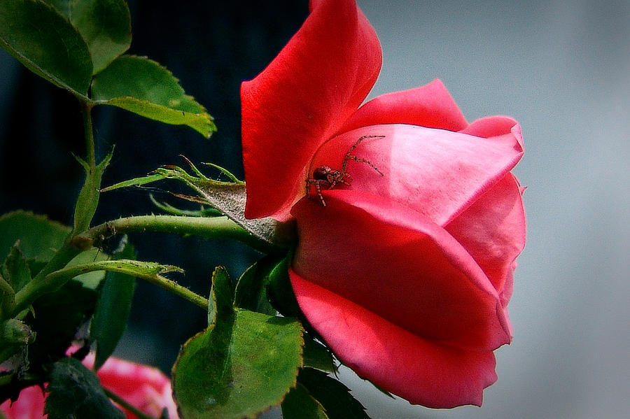 Spider And Rose Photograph