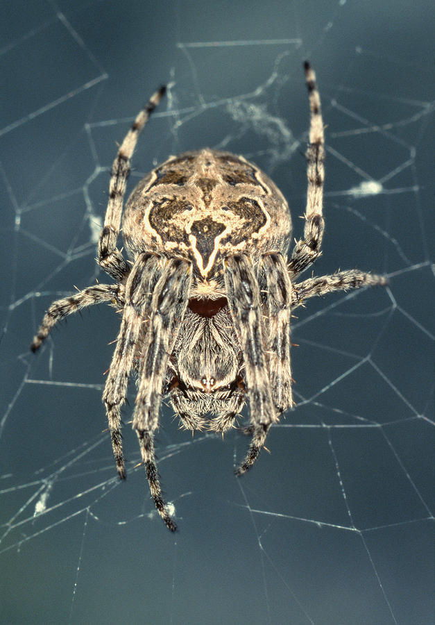 Spider Photograph - Spider by Sinclair Stammers/science Photo Library