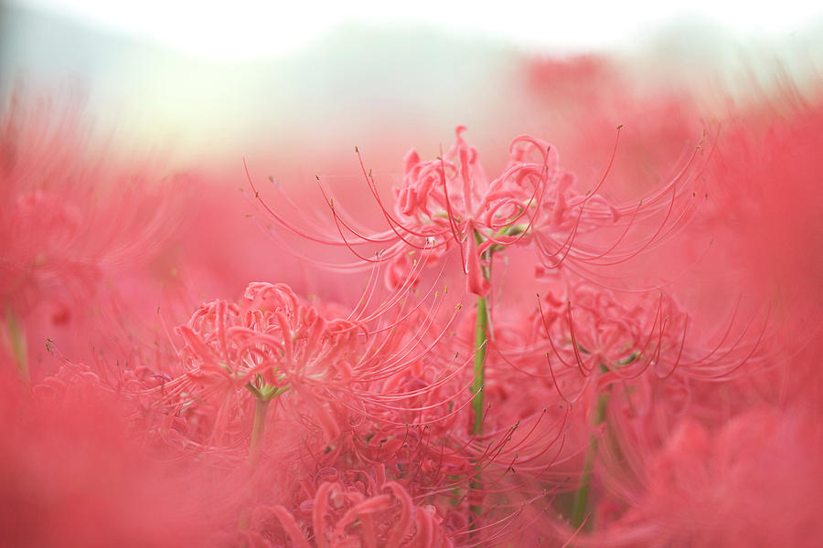 Spiderlily Photograph by Sachikos Photography