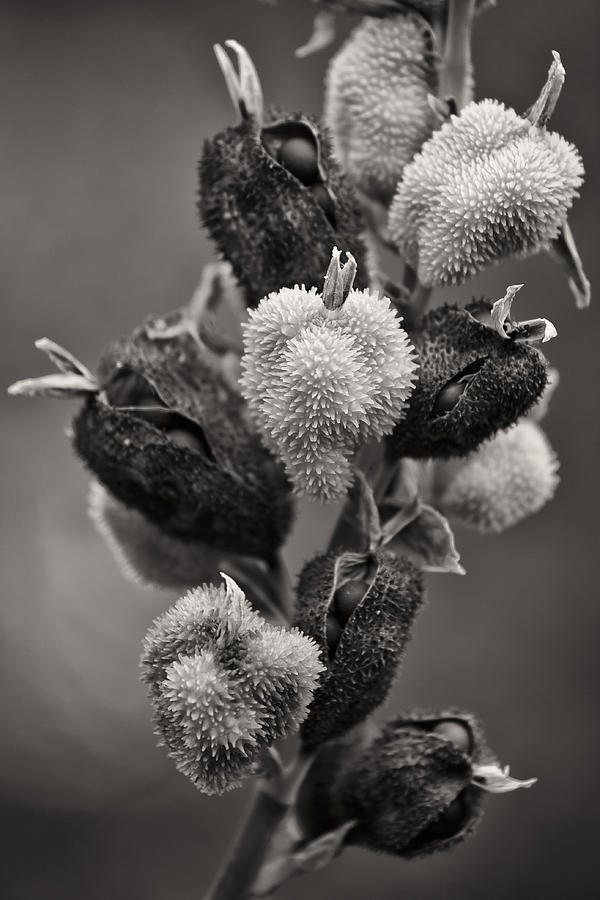 Outdoors Photograph - Spiked Seed Pods by Geoff Scott