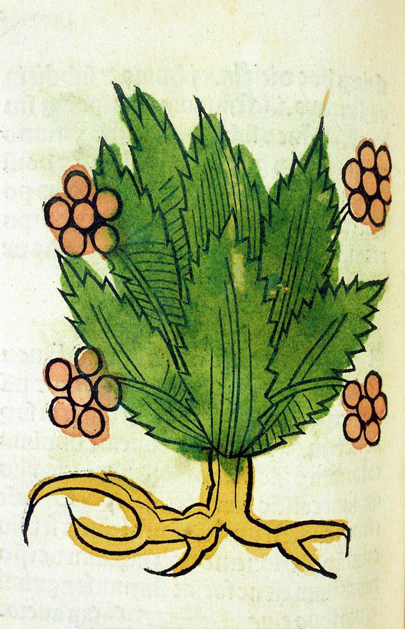 Spikenard Photograph - Spikenard Medicinal Plant by National Library Of Medicine