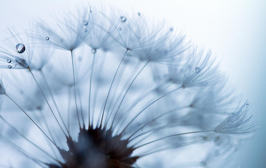 Dandelion Photograph - Spin Round And Round by Rebecca Cozart