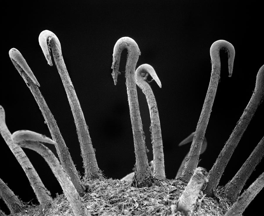 Black And White Photograph - Spiny Cocklebur Sem by Albert Lleal
