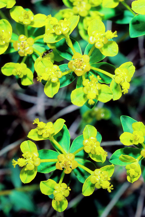 Spiny Spurge Euphorbia Spinosa Photograph By Bruno Petriglia