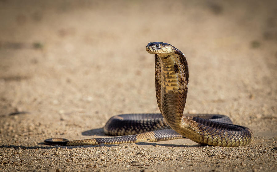 Cobra Photograph - Spitting Cobra In Strike Pose. by Jeffrey C. Sink