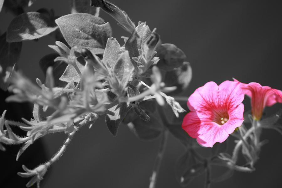 Flower Photograph - Splash Of Pink by Kimberly Elliott