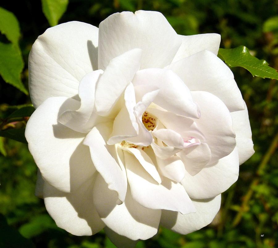 Perfection Photograph - Splendid Iceberg Rose by Will Borden