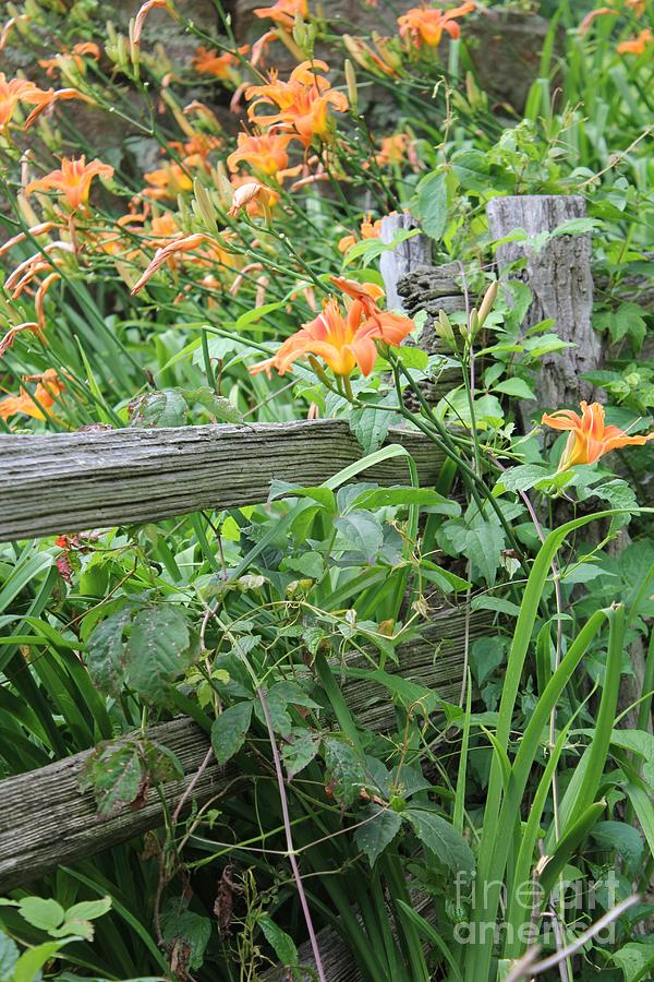 Lillies Photograph - Split Rail Fence by Laurinda Bowling