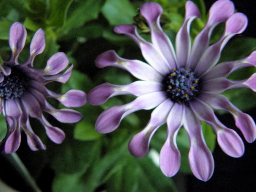 Flowers Photograph - Spoon Daisy by Marijo Fasano