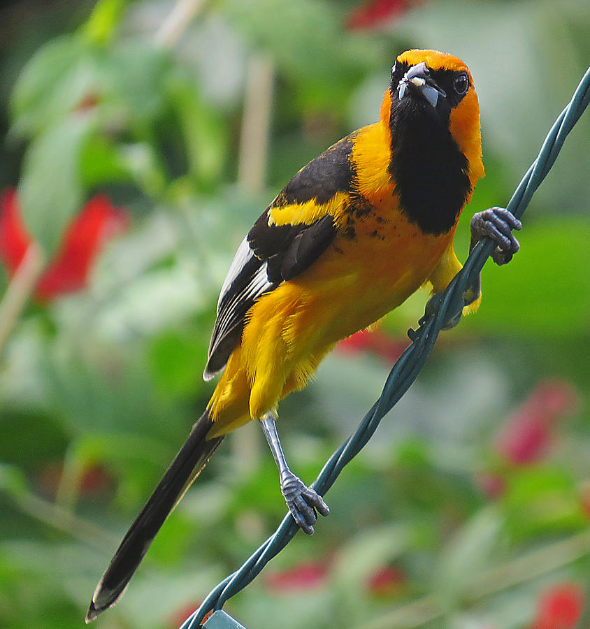 Spot Breasted Oriole Photograph by Dart and Suze Humeston