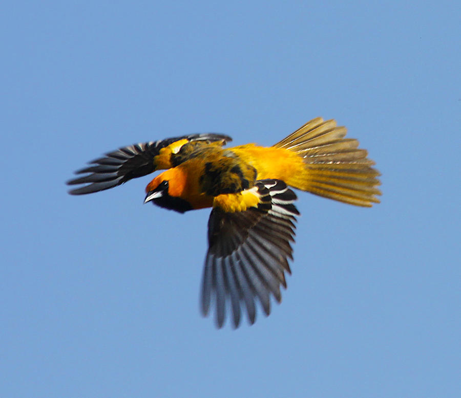 Spot Breasted Oriole In Flight Photograph by Dart and Suze Humeston