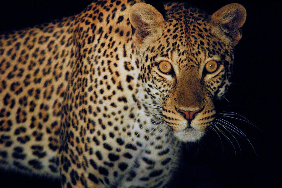 Leopard Photograph - Spotted At Night by Stefan Carpenter