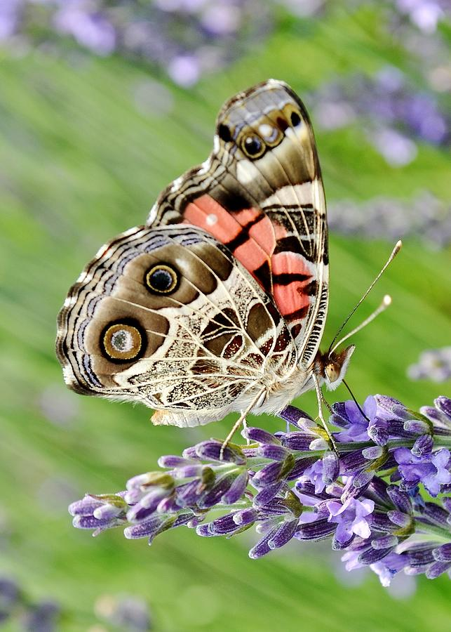 Butterfly Photograph - Spotted Butterfly by Kim Bemis