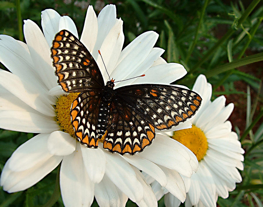 Butterfly Photograph - Spotted Butterfly by Tanya Hamell