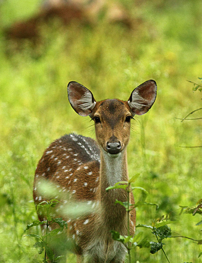 Spotted Deer Photograph by © Anil