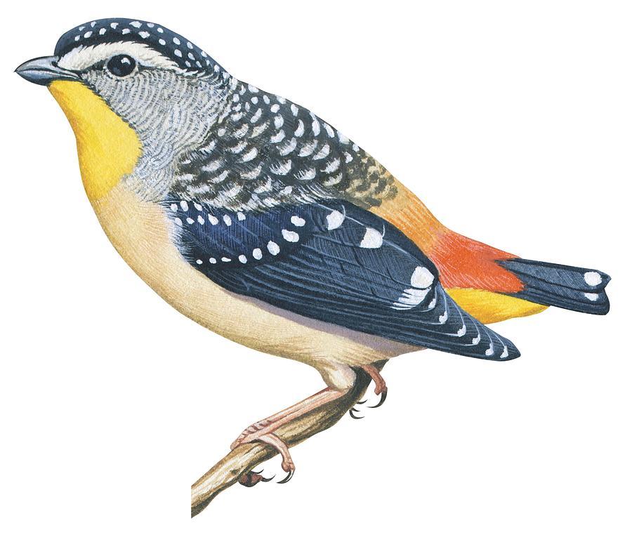 Bird Drawing - Spotted Diamondbird by Anonymous