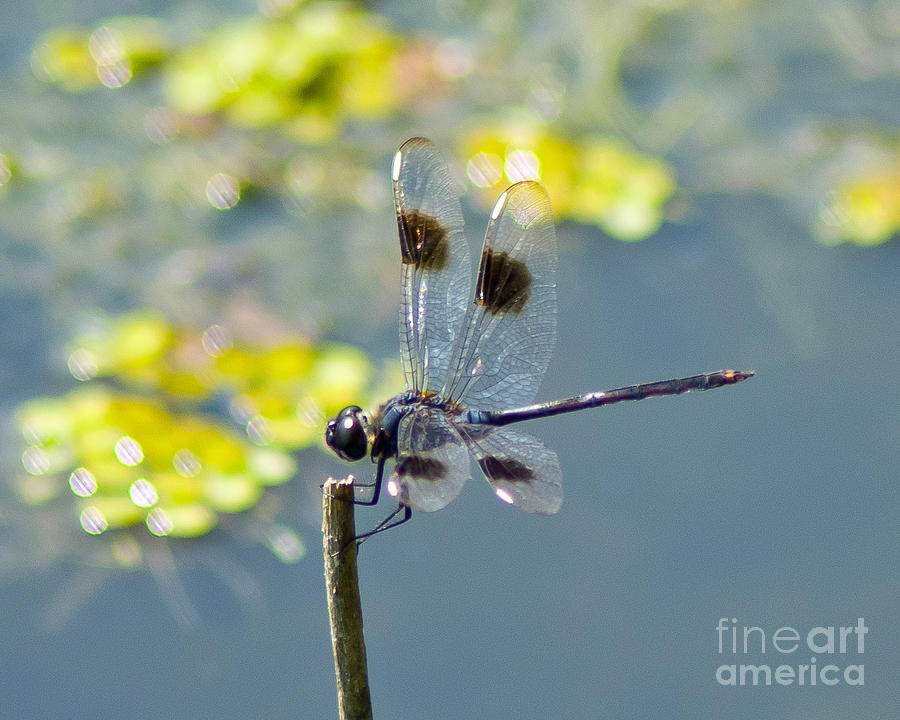 Spotted Photograph - Spotted Dragonfly by Stephen Whalen