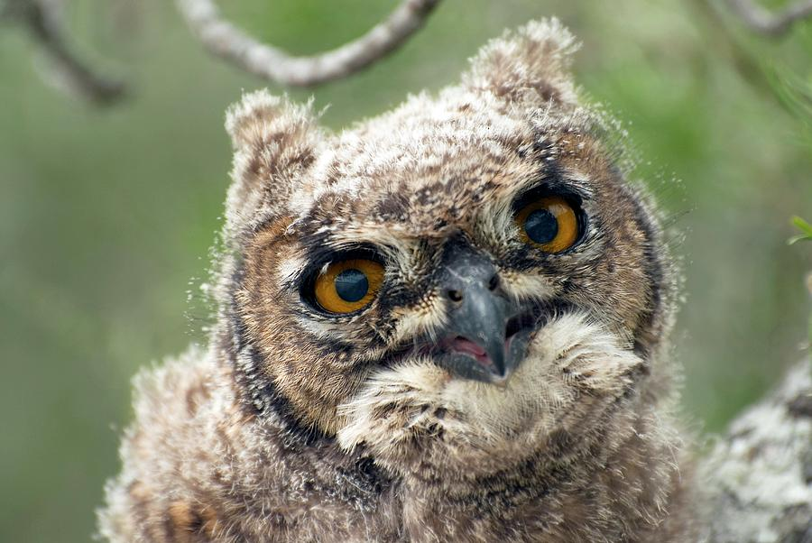 Bubo Africanus Photograph - Spotted Eagle-owl Chick by Peter Chadwick/science Photo Library