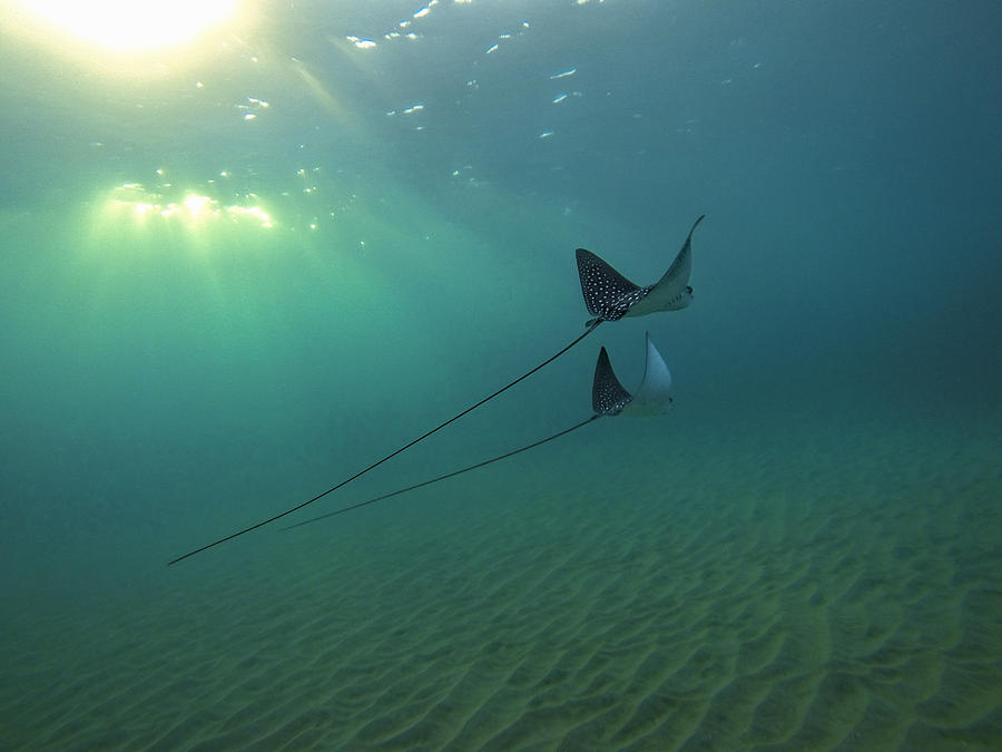 Nature Photograph - Spotted Eagle Rays During Sunset by Brad Scott