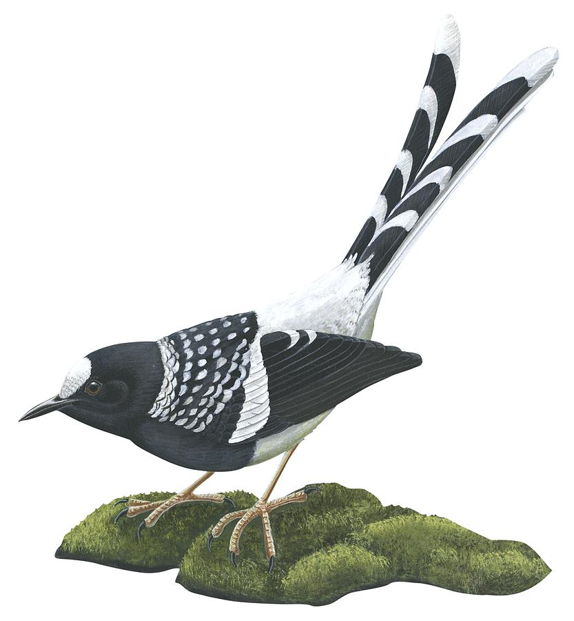 Beautiful Drawing - Spotted Forktail by Anonymous