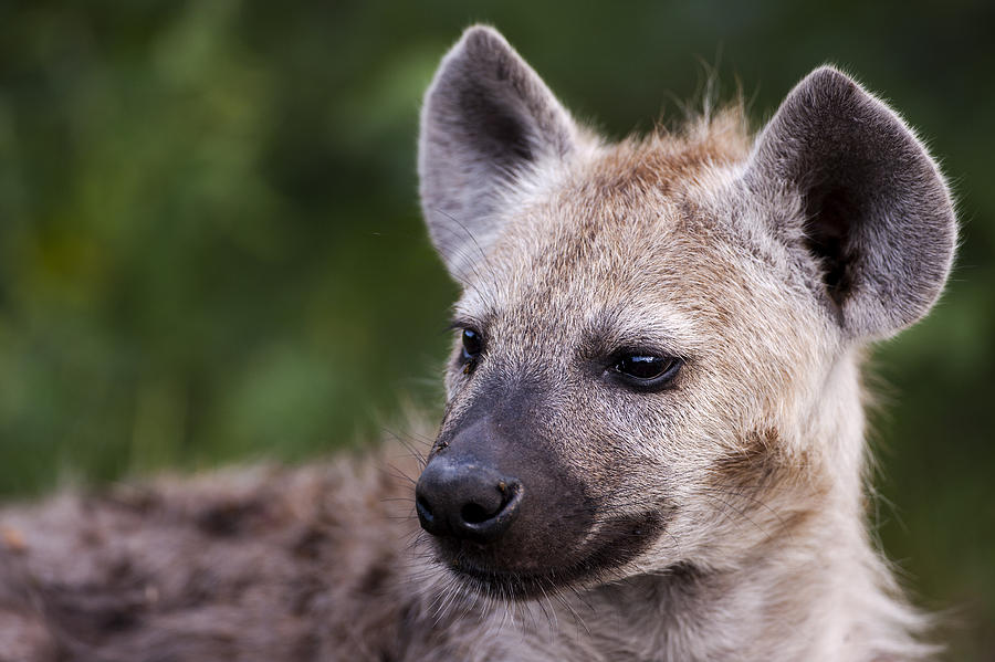 Spotted Hyena Photograph by Sean McSweeney