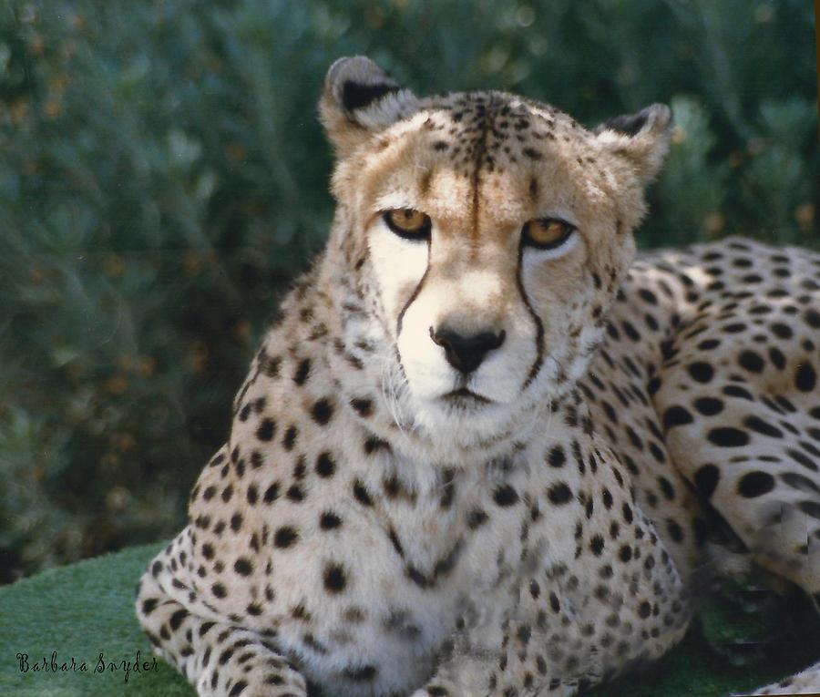 Spotted Leopard Digital Art