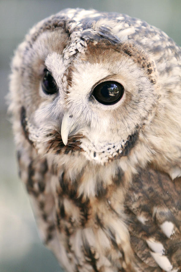 Owl Photograph - Spotted Owl by Shoal Hollingsworth