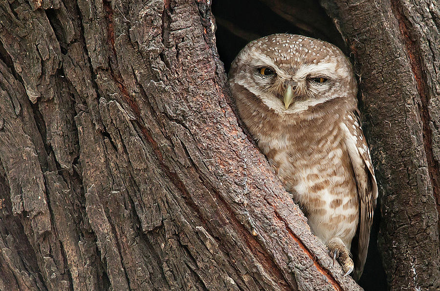 Spotted Owlet Photograph by Photography By Masood Hussain