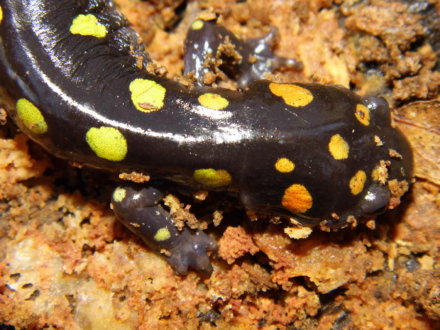 Spotted Salamander Photograph - Spotted Slamander by Kay Sparks