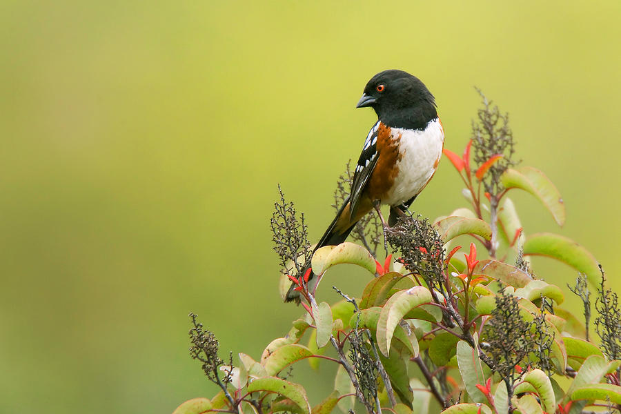 Spotted Towhee Photograph