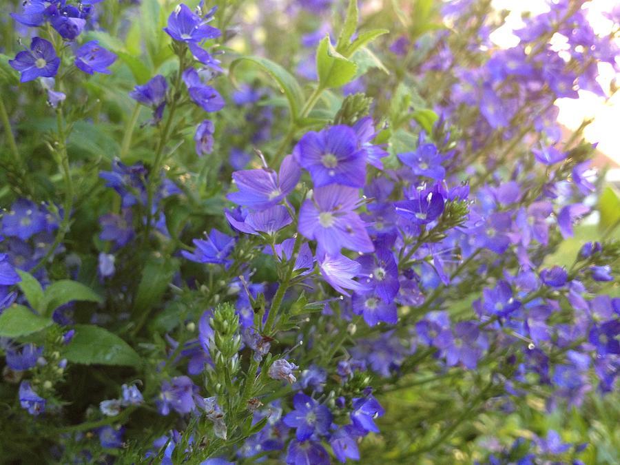 Blue Photograph - Sprays Of Blue by Pema Hou