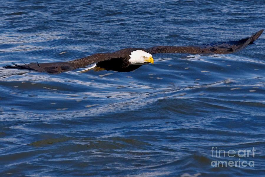 Eagle Photograph - Spread Eagle by Michael Rucci