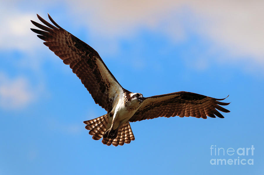 Osprey Photograph - Spread Your Wings by Mike  Dawson