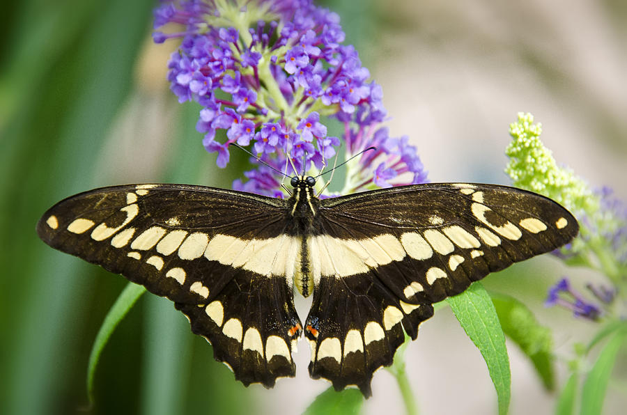 Papilio Thoas Photograph - Spread Your Wings My Little Butterfly  by Saija  Lehtonen