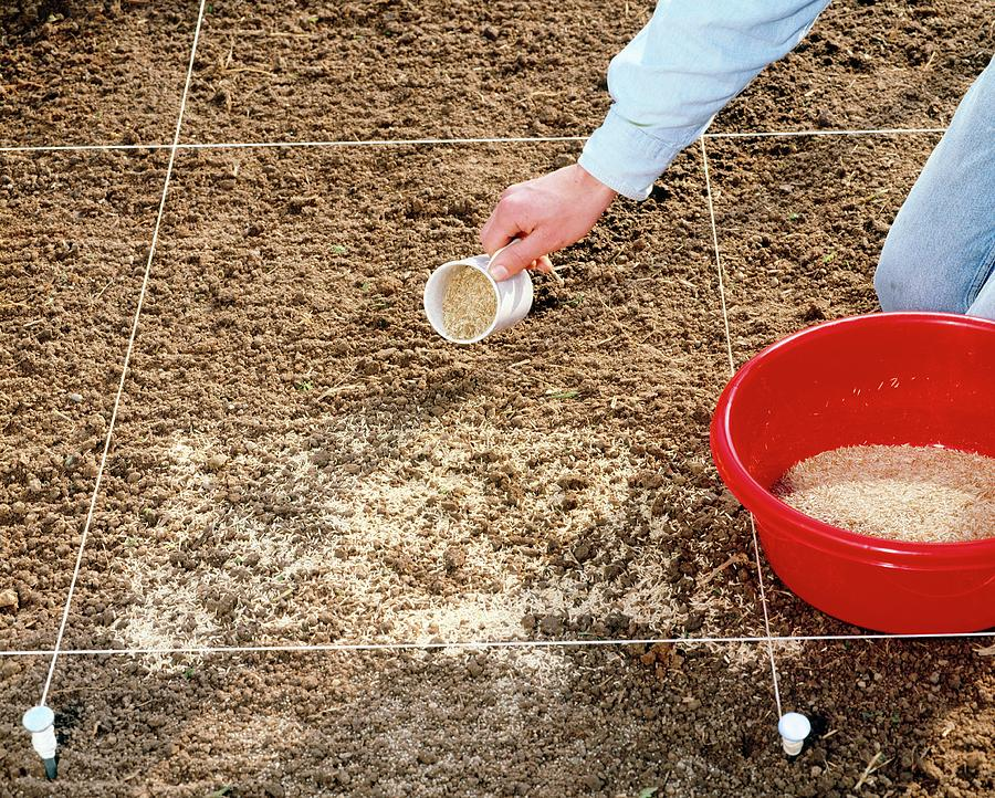Practical Gardening Photograph - Spreading Grass Seeds by Science Photo Library