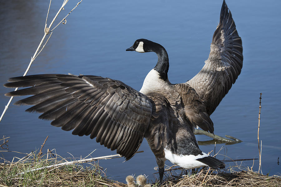 Goose Photograph - Spreading My Wings... by David Yack