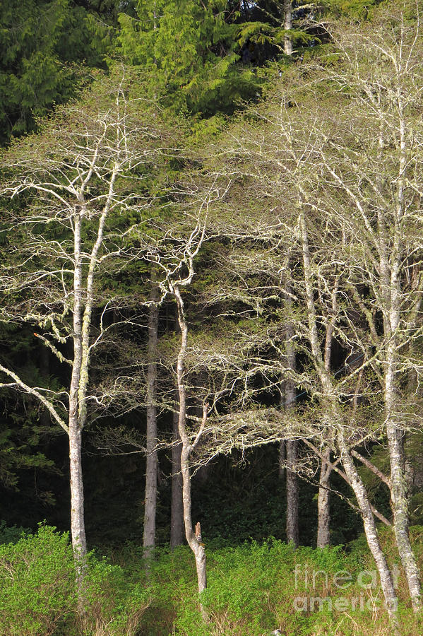 Alders Photograph - Spring Alders by Frank Townsley