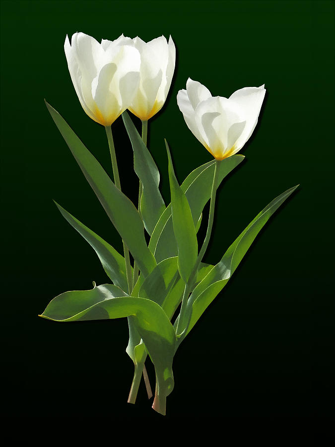 Tulip Photograph - Spring - Backlit White Tulips by Susan Savad