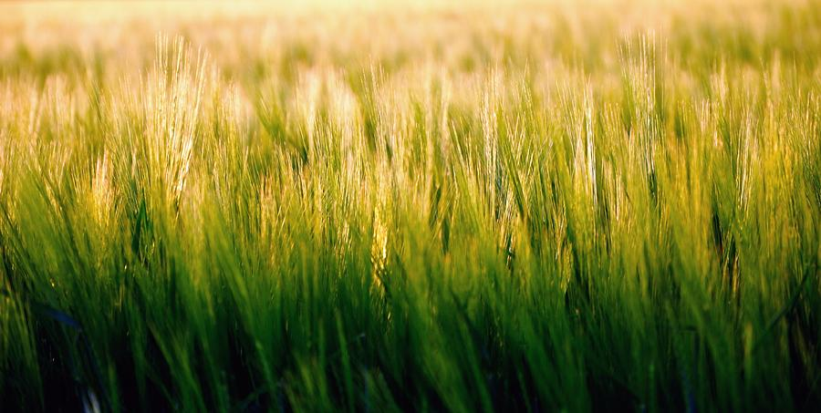 Spring Barley 15584 Photograph