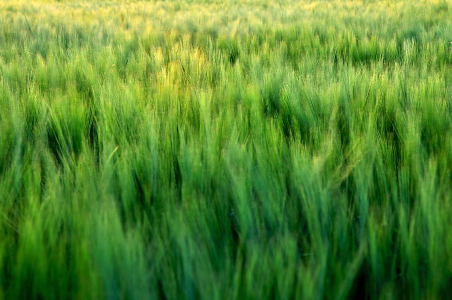 Spring Barley 15623 Photograph